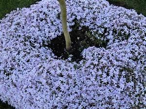 Couvre Sol Vivace : plante couvre sol vivace homeezy ~ Premium-room.com Idées de Décoration