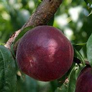 Peach Trees Varieties
