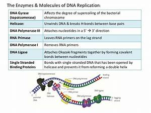 What Is The Function Of Dna Polymerase Iii In Dna