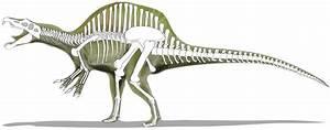 Image Gallery spinosaurus skeleton