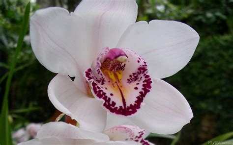 one orchid mlewallpapers com white orchid i