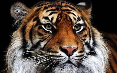 Tigres Wallpapers Fondos Tigre Imagenes Tiger Pantalla