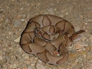 Southern Copperhead Snake Texas