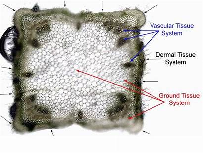 Primary Cambium Vascular Secondary Growth Plant Procambium