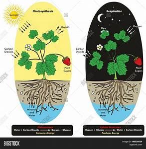Photosynthesis Image  U0026 Photo  Free Trial