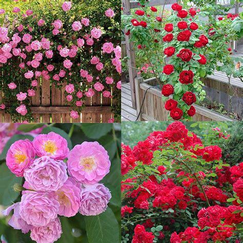 100pcs Klettern Rose Balkon Garten Getopfte Pflanzen
