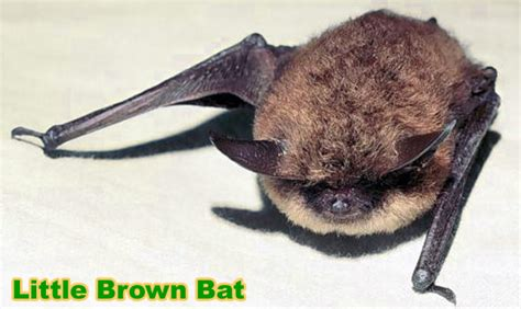 little brown bat in the attic information species myotis