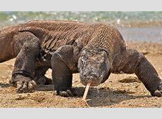Donde Vive El Dragon De Komodo? Que Comen, Como Nacen