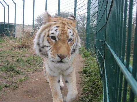 wight isle zoo iow sandown cat tripadvisor cats