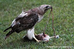 Red Tailed Hawk Eats Dog