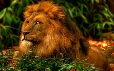 animal wildlife king  jungle lion wallpapers
