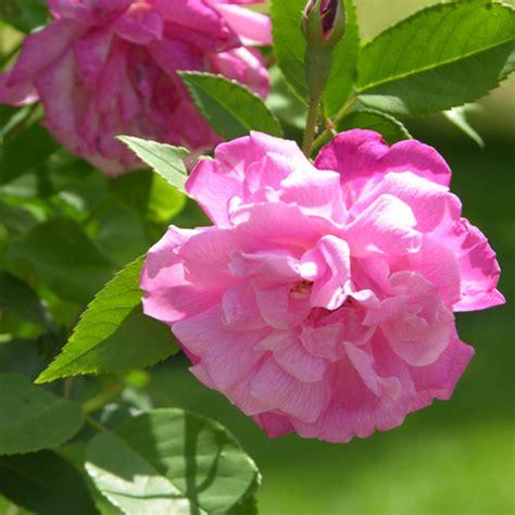 climbing  blush china rose rosa chinensis cv