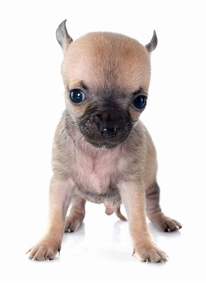 Chihuahua Adorable Puppy Puppies