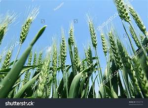Image Gallery wheat plant