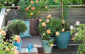 Rosen Für Balkon : topfrosen pflanzen und pflegen diese rosen kann man im ~ Michelbontemps.com Haus und Dekorationen