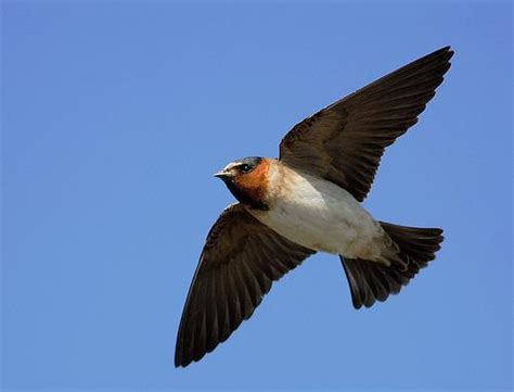 town plays birdsong to attract lost swallows