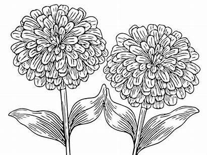Zinnia Pages Coloring Flower Flowers Plants Template