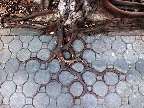 beautiful tree roots  concrete  gardens
