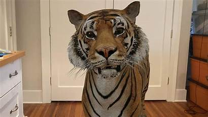 Tiger Animal Google Animals Lion Reality Augmented