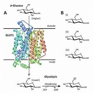 Roles of facilitative glucose transporter GLUT1 in [18F ...