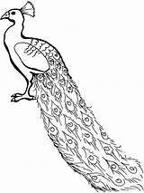 Peacock Coloring Pages Congo Drawing African Line Peafowl Outline Printable Cartoon Clipart Lovely Sheets Simple Adults Colouring Cliparts Peacocks Adult sketch template
