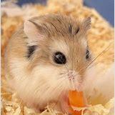Robo Dwarf Hamster Cages | 375 x 381 jpeg 47kB