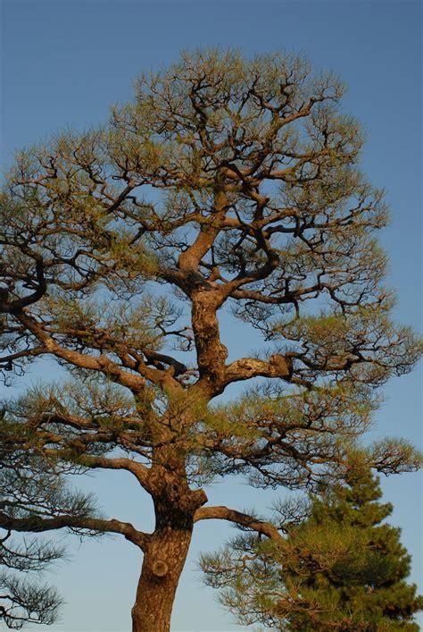 niwaki japanese tree pruning