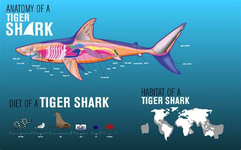 incredibly cool collection  tiger shark facts shark sider