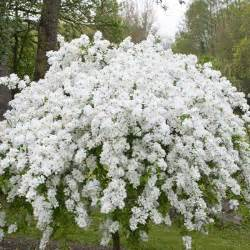 White Flowering Shrubs with Flowers