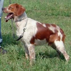 French Brittany Spaniel Shedding by French Brittany Spaniel Photos Dogbreedworld Com