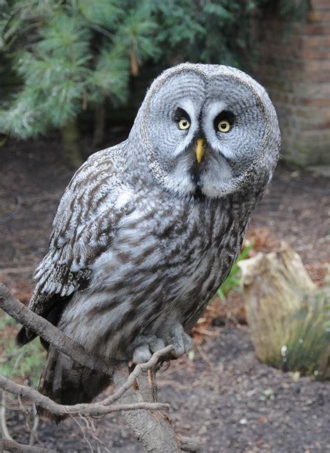 free photo owl bird night kautz eyes free image on