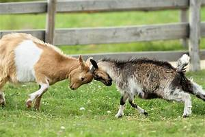 Nigerian vs. Pygmy Goats: Which is best?