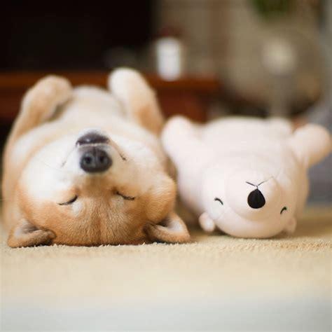shiba inu  falling asleep   position