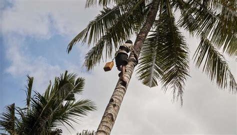 pemerintah dorong pengembangan kelapa hibrida bisnis