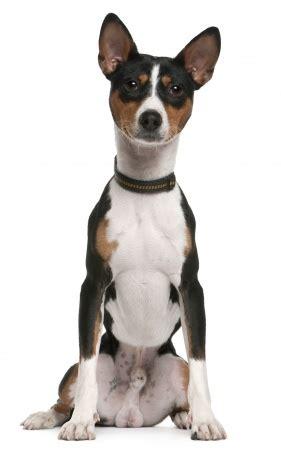 basenji  barkless dog    breed