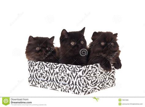 gattini persiani regalo gattini persiani in contenitore di regalo isolato su