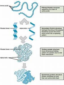Difference Between Primary Secondary And Tertiary Structure Of Protein
