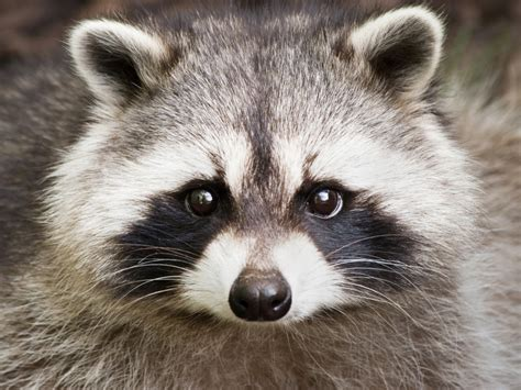domesticated raccoon woman hoping to keep pet raccoon in saskatoon saskatoon globalnews ca