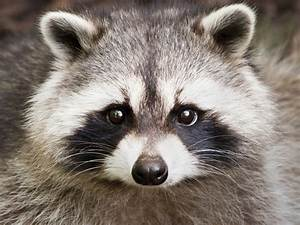 Woman hoping to keep pet raccoon in Saskatoon - Saskatoon ...