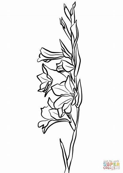 Gladiolus Drawing Coloring Pages Flower Line Printable