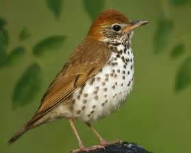 Wood Thrush - Wood Thrush, adult © Brian E. Small/VIREO Thrush