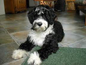 Does Border Terriers Shed by Training A Portuguese Water Dog Dog Clothing Products