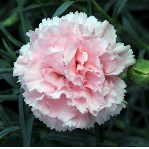 Carnation Flower Part 1 - We Need Fun