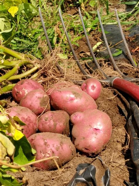 how to potatoes from garden harvesting and storing potatoes from your own home garden