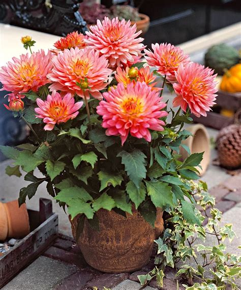 patio dahlia extase these dahlias are superb for planting in large pots planters or tubs