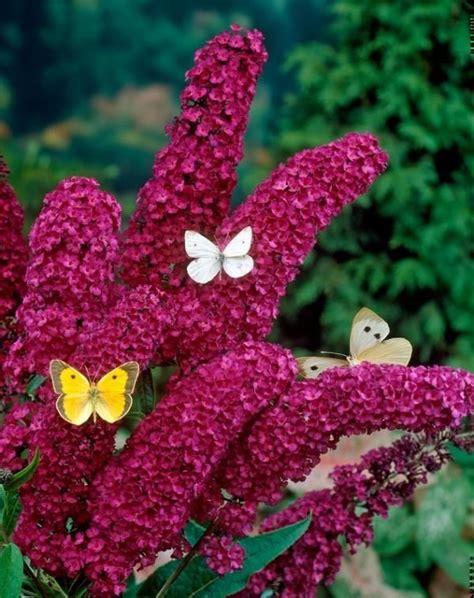 Garten Pflanzen Schmetterlinge by Sommerflieder Royal 17 Blumen Und Pflanzen Die