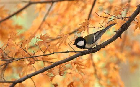 bird  autumn branch wallpaper  marksteele
