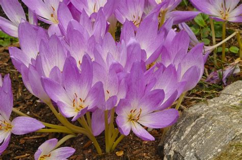 growing with plants colchicum or autumn crocus what