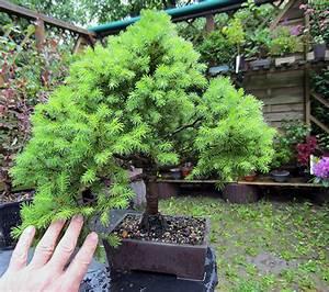 Bonsai Baum Schneiden : zuckerhut fichte ~ Frokenaadalensverden.com Haus und Dekorationen