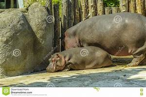 Baby One Karlsruhe : baby hippo and his mom at zoo stock image image of hippopotamus brown 75810471 ~ A.2002-acura-tl-radio.info Haus und Dekorationen